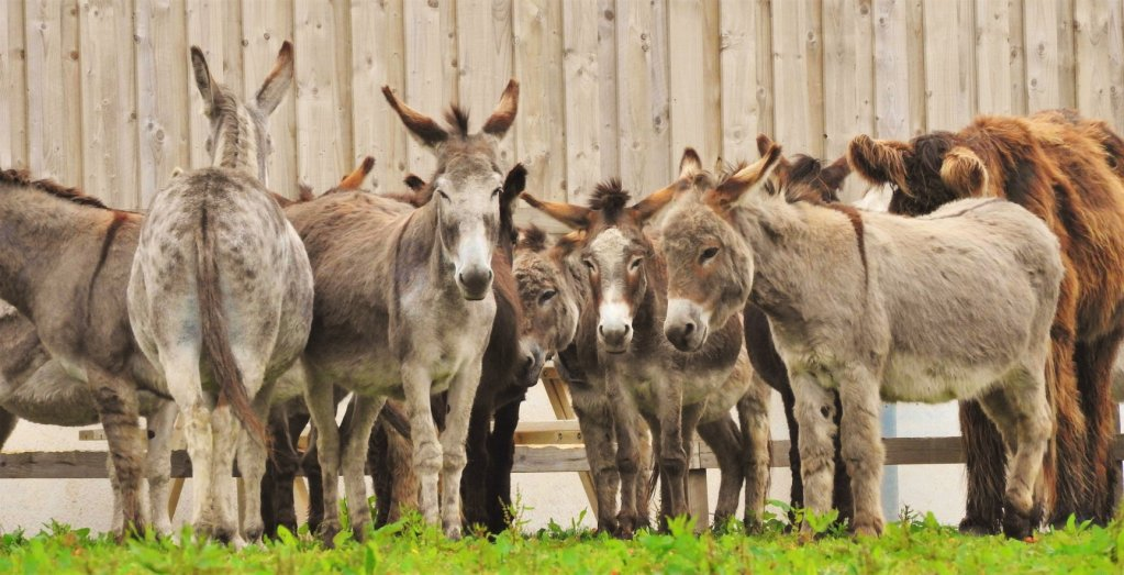 A group of donkeys in a paddock at Flicka Donkey Sanctuary in Cornwall