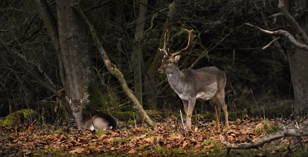 A stag and doe at Belton Park for Deer