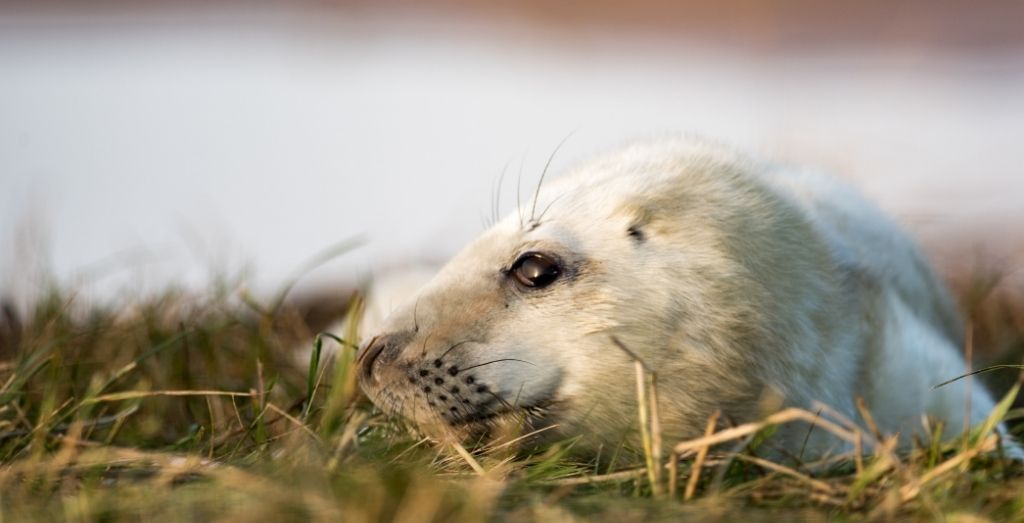 A white seal at Donna Nook Nature Reserve
