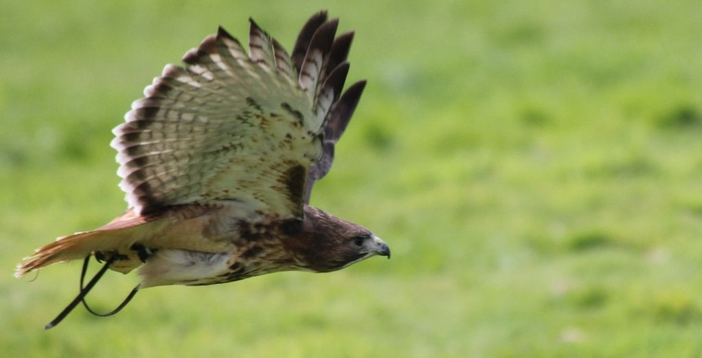 Hawk flying at York Bird of Pray centre in Yorkshire